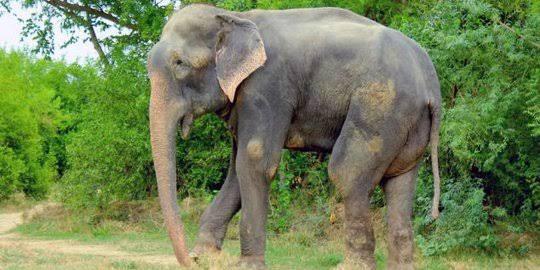 Puisi tentang gajah