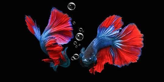 Puisi pendek tentang ikan cupang